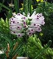 輪葉歐石南 Erica verticillata -新加坡濱海灣花園 Gardens by the Bay, Singapore- (24655518219).jpg