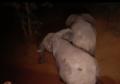 马拉维大象搬家现场实录.png