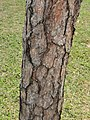黑松 Pinus thunbergii 20211007185113 08.jpg