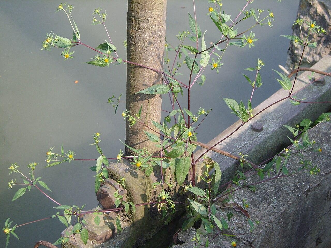 Dvojzub listnatý (Bidens frondosa)