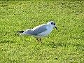 -2021-01-17 Black Headed Gull, (Chroicocephalus ridibundus), Trimingham, Norfolk.JPG