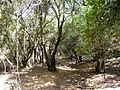 07 Wadi Zubia Forest Walk - You Will Walk through Dense Forest Vegetation for A While - panoramio.jpg