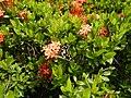09019jfClose-ups of butterflies on flowers Bulacanfvf 04.jpg