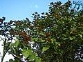 09738jfLandscapes Bixa orellana Maronquillo Roads San Rafael Bulacanfvf 24.JPG