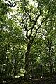 0 'Le Chêne Pouilleux' du Bois d'Havré (1).jpg