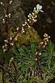 1024 Arktisch-alpiner Garten Chemnitz-0979.jpg