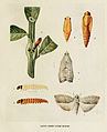 18-Indian-Insect-Life - Harold Maxwell-Lefroy - Laspeyresia-pseudonectis.jpg