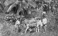 1894 banana transport1 Jamaica.png