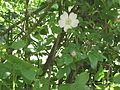 2009-06-17 Flora am Eisenstein (Niederösterreich) 1.jpg