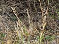 2013-04-10 Morchella esculentoides M.Kuo, Dewsbury, Moncalvo & S.L.Stephenson 321742 crop.jpg
