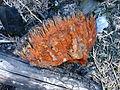 2013-08-06 Echinodontium tinctorium (Ellis & Everh.) Ellis & Everh 357890.jpg