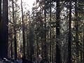 2013-09-19 17 30 58 Smoke and burned trees from the Rim Fire in Yosemite National Park.JPG