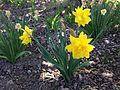 2014-05-02 13 50 44 Daffodils at the Nevada Department of Transportation station on Idaho Street in Elko, Nevada.JPG