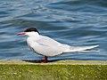 2014-05-18 Sterna hirundo, Killingworth Lake, Northumberland 05.jpg