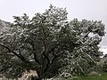 2014-06-17 09 40 50 Snow in June on a Poplar with summer foliage at Glacier Overlook in Lamoille Canyon, Nevada.jpg