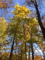 2014-10-30 13 23 10 Norway Maple during autumn in the woodlands along the West Branch Shabakunk Creek in Ewing, New Jersey.JPG