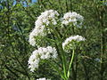 20140618Valeriana officinalis2.jpg