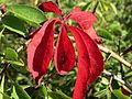 20140923Parthenocissus quinquefolia1.jpg