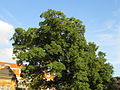 20141023Quercus turneri2.jpg