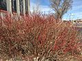 2015-03-16 14 14 56 Oisier Dogwood in winter at the Northeastern Nevada Museum in Elko, Nevada.JPG