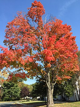 2015-10-21 13 20 10 Sugar Maple during autumn along Patton Drive in Ewing, New Jersey