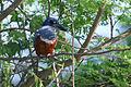 20150919 4650 Pantanal Martin-pecheur a ventre roux.jpg