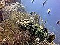 2015 09 Bali 59 a giant grouper (22080767242).jpg