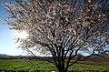 2015 Spring blossoms, Qom (13940117132140907).jpg