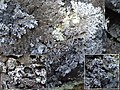 2016-06-04 Abrothallus parmeliarum (Sommerf.) Arnold 624106.jpg
