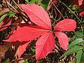 20161002Parthenocissus quinquefolia01.jpg