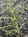 20170723Amaranthus albus4.jpg