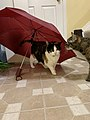 2020-04-23 18 57 31 A tabby cat and Calico cat investigating an umbrella in the Franklin Farm section of Oak Hill, Fairfax County, Virginia.jpg