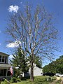 2020-05-30 14 53 30 An American sycamore with a severe infection of Sycamore anthracnose along Tranquility Lane in the Franklin Farm section of Oak Hill, Fairfax County, Virginia.jpg