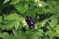 318.1琉球紫蛺蝶1(郭月秀攝) (31756716975).jpg