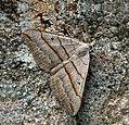 70.041 BF1734 July Belle, Scotopteryx luridata plumbaria (4757855453).jpg