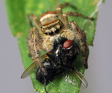 8 Phidippus clarus female preying on fly.jpg