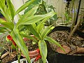 9663Ornamental plants in the Philippines 08.jpg