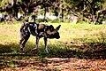 AFRICAN WILD DOG (14049811611).jpg