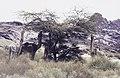 ASC Leiden - van Achterberg Collection - 16 - 43 - Des chameaux mangent des feuilles d'acacia - Ahaggar, Algérie - Avril 1991.jpg