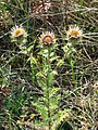 A Carline thistle (Carlina spec.) - geograph.org.uk - 909978.jpg