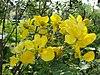 A Cassia auriculata shrub.jpg