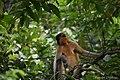 A Pregnant Capped Langur - Flickr - Dr. Santulan Mahanta (5).jpg