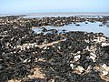 A field of exposed seaweed - geograph.org.uk - 793099.jpg