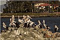 A group of Pelicans at Clontarf-1 (7531306226).jpg