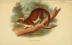 Derby's woolly opossum - Image: A hand book to the marsupialia and monotremata (Plate XXXIV) (6008905790)