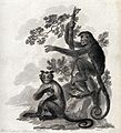 A horned monkey is sitting on the ground while a four finger Wellcome V0020739.jpg