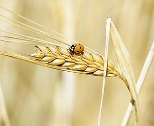A lady beetle perches on barley.
