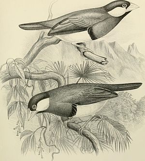 A monograph of the weaver-birds, Ploceidand arboreal and terrestrial finches, Fringillid (1888) (14563268269).jpg
