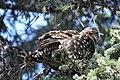 A spruce grouse in a spruce tree (89b78e90-77c3-4cab-81ce-9565d75a99f5).jpg
