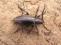 Ab insect 038.jpg